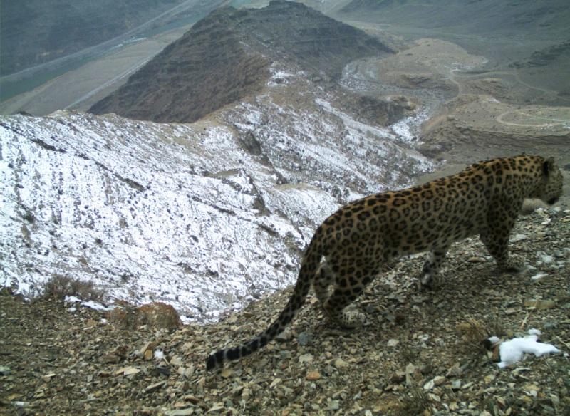 В Зангезурском нацпарке обнаружены еще два детеныша леопарда
