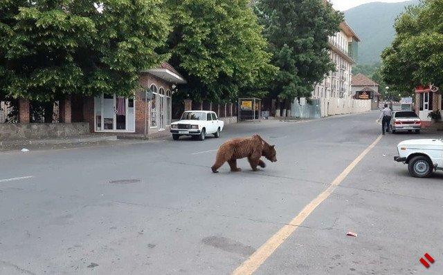В Шеки  в центре города замечен медведь