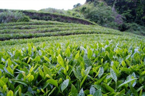 ЕБРР готов поддержать чайный сектор Азербайджана и Грузии